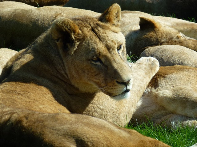 Lioness at Longleat